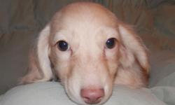 Gilligan is a long haired cream piebald male. He will grow up to look just like his dad. Up to date on shots and pre spoiled. waiting for his forever home with you. parents are both 9 Lbs. so I expect him to be about the same size. Shipping is $350.00.
