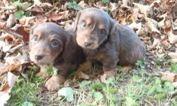 i have a 14 week old mini dachshund for sale all shots and dewormer up to date please call 8457910832 for info or pics