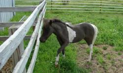 ROYALE LEGENDS BEAUTY REINS SUPREME is an AMHA/AMHR registered black & white pinto filly foal date 4/7/2014 sired by Impressible Titans Dyno Mite (AMHA/AMHR bay homozygous stallion.) Her grand sire is Another Dimension Dubs Titan who is a Reserve World