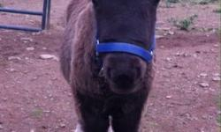 We are expecting AMHA & AMHR registered, PTHA eligible & unregistered foals in 2014. Pricing starts at $500. Ask to see pictures of our horses & previous foals!!! Royale Legends Miniature Horses Dundee, NY (607) 243-8621