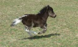 Handsome AMHA/AMHR registered black pinto colt, foal date 4/17/14 sired by Impressible Titans Dyno Mite (AMHA/AMHR bay homozygous stallion.) His grand sire is Another Dimension Dubs Titan who is a Reserve World Champion. The colt's pedigree also includes