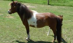 Maple View Lady Guinevere ~ Petite bay pinto, approximately 31?, foal date 4/6/2007 with Hemlock Brooks, Flying W Farms, Dell Teras, Soats & Bond bloodlines. She will be bred by Little Kings Psych Me Up for a 2015 foal. His sire is Little Kings Psyched Up
