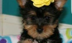 2 months old yorkie, morkie . Come with all shots ,registration, all papers and microship. Call or text 347 327 7047