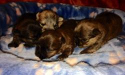 Puppies, tines and toys,champion lined/pet,great dispositions,all colors,will have very nice coats, vet checked,shots ,dewormed,Guarenteed.,(pd00302) taking deposits on younger litter.