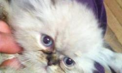 I'm looking for a teacup Persian/Himalayan long haired kitten for under $500. not color specific. I live in upstate so transfer must be close