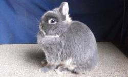 We have several Netherland Dwarf does available. Most are under 2 yrs and have had litters. All are Pedigreed. Have Black Otters,Blue Otters,Chocolate Otters, and couple Bews. We arent doing the Tan group anymore or Bews. All have top bloodlines some can