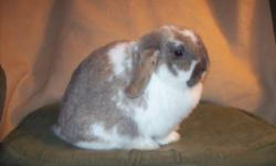 Butterscotch is a brown female with dark markings,Oreo is a black and white male. They are outside rabbits that eat strictly rabbit pellets.They will use litterboxes if offered one. They are 3 years old and have never been bred. they were gifts from my