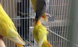I have violet , double violet and cobalt opaline lovebirds This ad was posted with the eBay Classifieds mobile app.