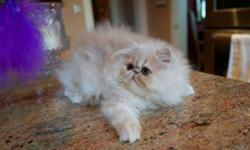 This is an OUTSTANDING Cream Male PERSIAN Kitten. He is just over 12 weeks old and ready to go to his new forever home! He is a CFA Registered (Cat Fancier's Assoc.), beautiful, hardy and playful kitten. This boy has National, Regional and Grand Champion