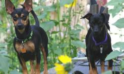 Autumn & Winter are Sisters born August 2013 who were brought into Rescue together. They both became pregnant at a young age and raised a litter of puppies. They are now looking for their own Forever Home Together. These two have awesome personalities,