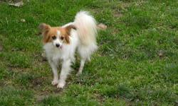 Papillon - Trudy ~needs Love And Understanding~ - Small - Adult Trudy is a puppy mill rescue. She is 7 years old and is a little shy but very sweet. Her tongue hangs out the side of her mouth because of her missing teeth from producing litter after litter