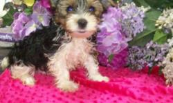 Beautiful fluffy tri-colored parti Yorkie male, ready now! He comes with his first puppy shot, vet check, tail docked, dewormed, health guarantee, & sample food for $950. Both parents are our personal pets & here for you to meet. Mom is a short legged