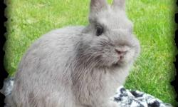 I have one Netherland Dwarf Buck left, that was born on 7/6/13. I also have one harlequin Lionhead buck that is available, born on 4/14/13. Please see my website for more information http://kellyskrittersrabbitry.weebly.com/for-sale.html