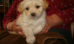 Pups born early January, taking deposits now, will be ready for new homes shortly. Only one still available -- cream male with gold highlights. Small, sweet, very cute. Family raised and socialized -- Playful but calm, not nervous or shy, loves to cuddle.