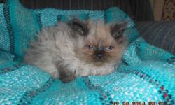 beautiful kittens just in time for christmas. mom is tabby persian and dad is chocolate himalayan,. they just come back from the vets and have shots,wormed,flea treatment. there hairy little puff balls. there is 3 boys and 2 females. 2 female blue (gray)