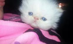 New litter of blue cream tea cup persian kittens .Your kitten will come vaccinated,wormed and with a kitten care kit.First deposit will hold pic of litter. photos and references upon request. to good furever homes only.50.00 deposit will hold your kitten