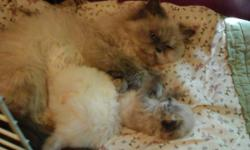 Persian kittens.1 male blue cream ,1 female white flame point.ready to go Aug 25th.will be vaccinated,wormed,and come with kitten care kit..I offer lifetime support with all your kitty questions ,and boarding if needed.20 plus years of excellent