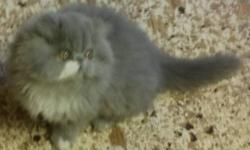 Hello, we have 3 beautiful Persian boys ready to find their forever homes. Very sweet, handsome boys, they are all brothers. Two are Blue & White and one is White with copper eyes. They are 6 months old. They have all their current shots & have been