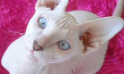 Available 5 MONTH OLD PETERBALD Sphynx Kitten: - F2 blue chamois coat female with blue eyes, $1200; - F3 blue tortoiseshell rubbery bald female, $1100; - F6 black rubbery bald female $1000; Our kittens come to you: TICA registered; health record: check by