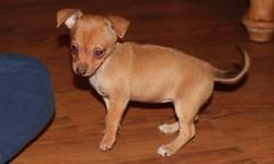 2 Female Pinchi puppies for sale. Mom is registered Chihuahua, dad is registered Miniature Pinscher. Puppies will have first set of shots, wormings and vet check. Ready to go Oct. 15th. Price reduced to $250 each. No shipping. Cash only. Located in Dundee