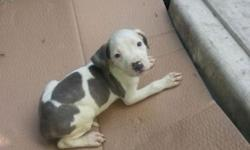 Pit bull puppys for sale ready now 200 o/b call 585=287=4144