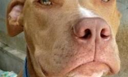 Pit Bull Terrier - Max - Medium - Young - Male - Dog Max is a 3 year old that came to us as a puppy. He was part of a litter of 11 puppies rescued from Tennessee. He was adopted to a family w/5 young children and was not trained or taken care of properly.