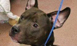 Pit Bull Terrier - Titus - Medium - Young - Female - Dog CHARACTERISTICS: Breed: Pit Bull Terrier Size: Medium Petfinder ID: 26656525 ADDITIONAL INFO: Pet has been spayed/neutered CONTACT: Elmira Animal Shelter | Elmira, NY | 607-737-5767 For additional