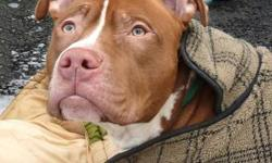 Pit Bull Terrier - Xavier - Large - Young - Male - Dog Xavier is a 2 1/2 year old Pit Bull Mix who came into our shelter as a stray. When he's outside and able to enjoy the weather, he becomes much more docile. He needs an experienced owner who will spend