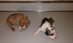 Pitbull pups for sale 300 for girls 250 for boys 8weeks old ready to go for more info call 845-514-3830
