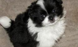 "Adorable Pom-Chin cross puppies dob 6-14-16. Will be ready at 9 wks in mid August. Mom ""Magnolia"" is a black & white 8 lb Japanese Chin and dad is a 5 lb light orange pomeranian ""Boyd"" Very sweet, laid back puppies will come with vet exam, age appropriate"