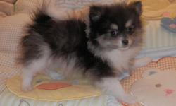 Panda is a Adorable small loving female Pomeranian .Waiting for her forever home with you. Born January 4,2015 . At 11 weeks old she weighs just 2 lbs. 8 oz. please email for more info. She comes with vet records with shots and worming, small bag of food,