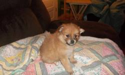 I have 4 purebred toy pomeranians. I have 3 boys and 1 girl. They have shots and are vet checked. They are ready to go November 5th. Please contact through e-mail. They look like dad right now so included his picture too.