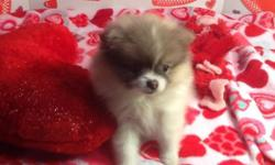 The sweetest little parti pomeranian - 12 weeks - vet checked - first shots - ready now - will stay small 5 to 6 pounds - dad ckc registered - mom purebred pomeranian too.