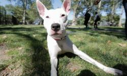 A volunteer writes: Paige is a young gal with the most gorgeous Pittie smile, freckled rabbit's ears and a lovely cow print coat. She is still a babe at 11 months of age, healthy and seems to have been so well cared for. She was found in a park before to