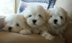 These adorable Maltese pups have sweet personalities and have been loved on by kids. They will be 8 weeks old on July 13. Vet checked, dewormed, first and second shots, ACA papers. 2 males, $500. 1 female, SOLD