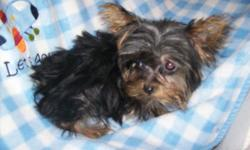 "Our 4&1/2 purebred ACA/CKC registered silver Yorkie Lizzy (photo #1) mated with our little teacup traditional black/brown Yorkie ACA/CKC Monty (photo #2) and produced this adorable tiny teacup Yorkie ""Princess"". She will come with her tail docked,"