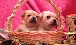 2 little girls, very sweet, well socialized, groomed Will be vet checked and include shots and dewormings Comes with blanket, collar and toy and food Born Feb 1, 2015 and will be ready March 27th Please text for more info 585-610-7865