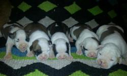 For Sale/ Purebred, registered American Bulldog PUPPIES available for sale. ..5 males and 4 females.... parents on site. check out our website at www.bluecollaramericanbulldogs.com All pups come with first set of shots, health certificate and puppy