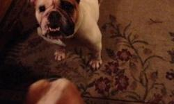 Selling a pair of english bulldogs. Male 4yrs female 3 years. Unaltered. Please contact me at 315-486-2646. $1800 This ad was posted with the eBay Classifieds mobile app.
