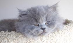 CFA registered Persian Blue grey kittens. Male. If you have any questions or would like have a look please email through this ad.
