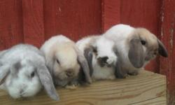 We have a beautiful litter of four that will be ready to go in 4 weeks, on October 20th! please view our web page! www.cloverleafcornersrabbitry.com