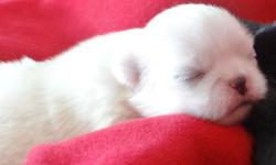 We are accepting deposits on our new litter of pure bred Pekingese. They should be ready to go the beginning of July. There are 3 pups available at the time this ad was posted. 2 females, one black and one white. One male: Black and white in color.