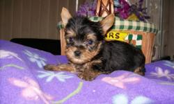 "AKC 4.5 lb. ""Angel"" mated with CKC teacup Biewer Yorkie from Germany ""Tuxedo"" and she gave birth to a tiny traditional black/tan male on 2/14/15. Currently Austin weighs 25.5 oz. charting to be approximately 3-3&1/2 lb. adult. Austin will come with first"