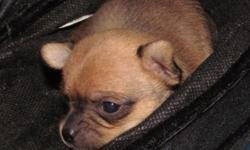 I have 2 male purebred Chihuahua puppies. they both look to be short medium coat. they will both mature in the 5 lb range. they are raised in our home , cage free(except when I cant supervise them) with our children giving them tons of attention. they