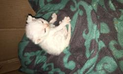 Female purebred Devon Rex kitten. Both parents on site and papered. Kitten will NOT have papers. Will have first shots and be de-wormed multiple times. $700.