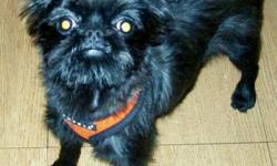 Pure Breed Female Brussels Griffon 10 months old, extremely playful and cute, she is only 5 pounds will not be bigger, you can take her anywhere, loves walks, rides, housetrained and UTD with her shots, not spayed. This is not a common breed. I will not
