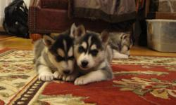 Siberian Husky pups, Healthy and ready to go. Dewormed,first vet visit and first shots! 3 Males $450. Please contact me at (315)749-6622 for more info. Thank you.