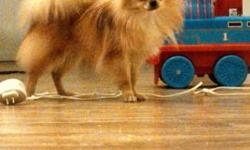 Name: Dixie Breed: Purebred Pomeranian SEX: Female; NOT SPADED COLOR: Orange  DOB: 2013FEB20 *DOCUMENTS INCLUDE* MEDICAL RECORD AKC MICROCHIP ID# APRI New Owner Registry *BREEDER VERIFICATION* SIRE: D11-YA-AM-33260B DAM: G11-AZ-AM-32622T BREEDER: Yvonne
