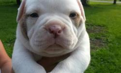 For Sale purebred registered American bulldog puppies. Only one female available...beautiful puppies. Awesome temperament. both parents are on location. Comes with first set of shots, health certificate and puppy registration papers. Call Bob today at