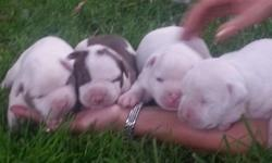 Adorable Purebred Registered American Bulldog puppies for sale. Available (2) Females...Mother and Father on site. Comes with first set of shots, health certificate and registration papers. Call Bob today at 585-331-0810 ...also visit website at